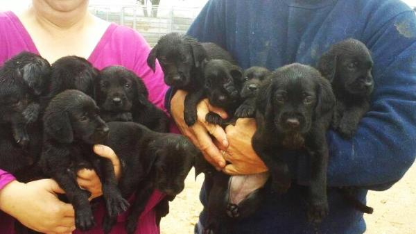 10 lab puppies